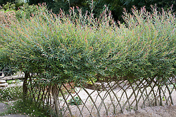 Salix purpurea 'Nancy Saunders' trained as hedge at Marchants Hardy Plants Nursery. Design: Graham Gough