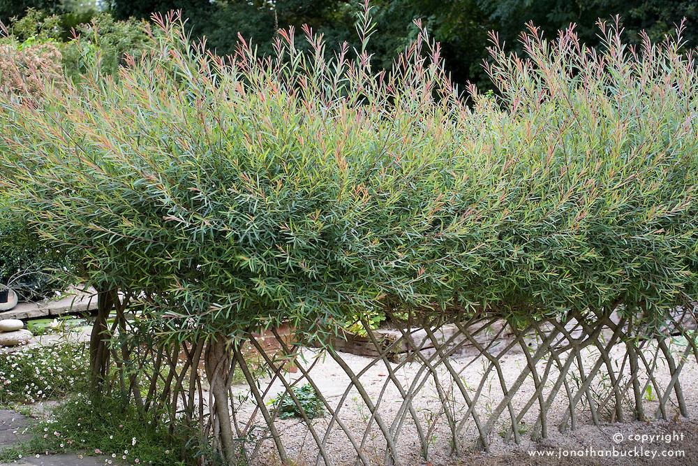 Salix purpurea 'Nancy Saunders' trained as hedge at Marchants Hardy Plants Nursery. Design: Graham Gough