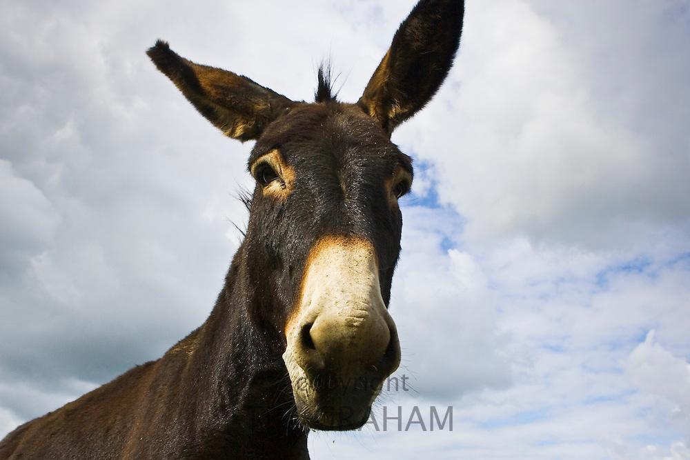 Donkey, Normandy, France