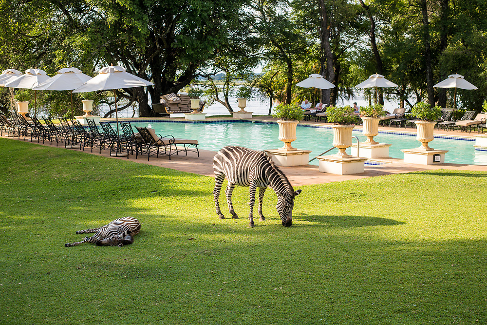 Wild zebras graze on the grasses by the pool of the Royal Livingstone Hotel in Livingstone, Zambia