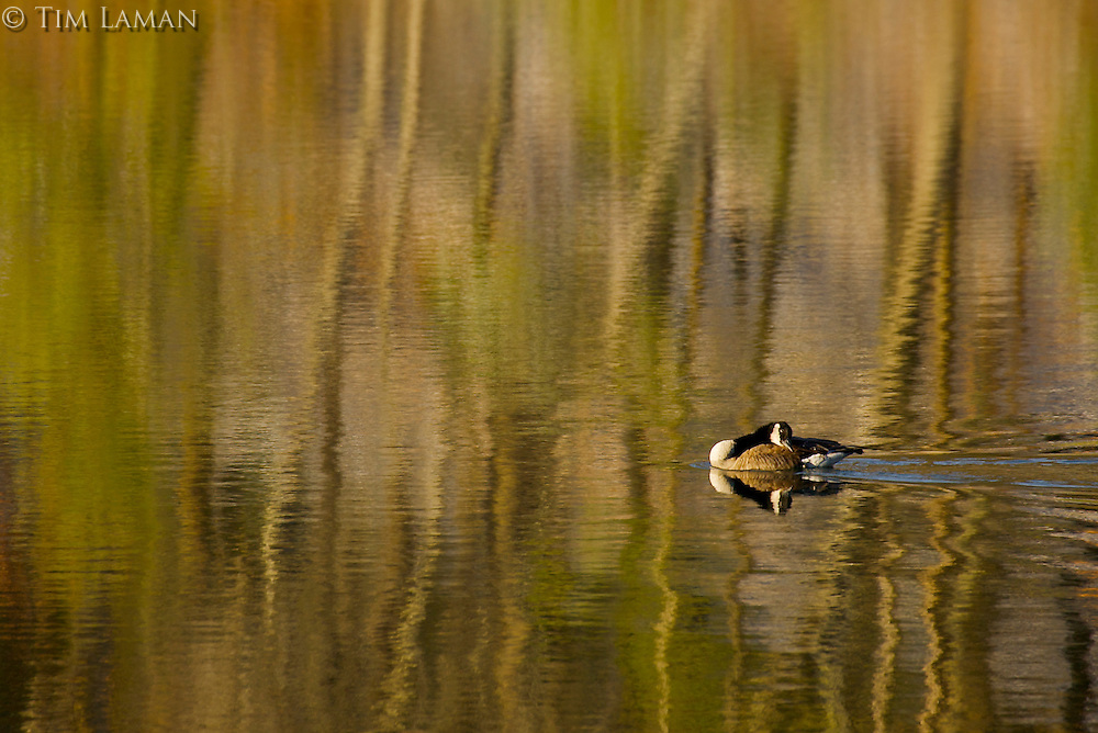 """Goose with Reflections"".A canada goose swims through winter reflections at Walden Pond.  Winter views at Walden Pond."