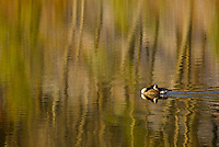 """""""Goose with Reflections"""".A canada goose swims through winter reflections at Walden Pond.  Winter views at Walden Pond."""