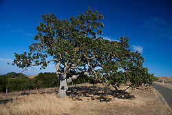 An oak tree along the recreation path, Stanford Foothills, Stanford, California, United States of America.