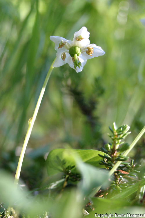 One-flowered Wintergreen, Single Delight, St. Olaf's Candlestick,Olavsstake, Moneses uniflora,Stråsjøen i Selbu. Gammelskogsart i tilbakegang, favoriseres av utmarksbeite. Kommuneblomst i Lierne, Nord-Trøndelag.