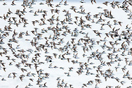 Western Sandpipers (Calidris mauri) and Dunlin (Calidris alpina) flying over Egg Island during spring migration through Prince William Sound in Southcentral Alaska. Afternoon.