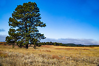 Ponderosa pines (Pinus ponderosa) are well adapted to the dry, rocky soils found at Wind Cave National Park, South Dakota.