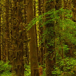 Sitka Spruce trees covered in moss in the Olympic National Forest near Lake Quinault, WA.