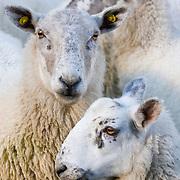 Sheep in a pen - Manor Vallley near Peebles, Scottish Borders