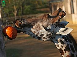 A giraffe with a pumpkin Halloween treat at ZSL London Zoo.