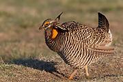 Greater Prairie Chicken displaying on a lek