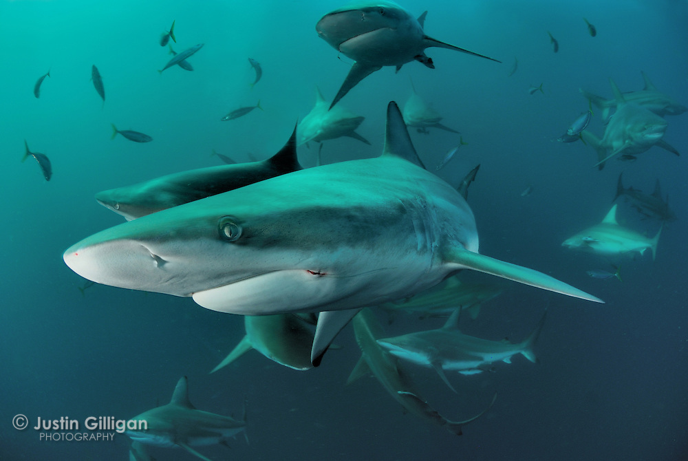 Close encounters with black-tip reef sharks (Carcharhinus limbatus) at Aliwal Shoal, off the coast of  Durban in South Africa