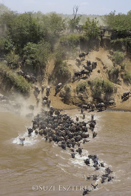Wildebeest<br /> Connochaetes taurinus<br /> Maasai Mara Reserve, Kenya<br /> Wildebeest crossing the Mara River during dry season