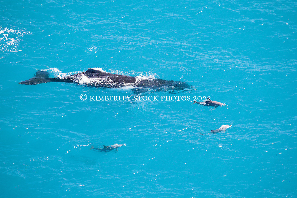 A pod of three Bottlenose dolphins approach a Humpback whale near Willie Creek north of Broome.  The whale had dived and surfaced, probably feeding.  The dolphins then swam away with the whale.
