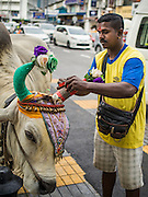 05 OCTOBER 2014 - GEORGE TOWN, PENANG, MALAYSIA: A man gets oxen ready to lead a procession honoring Durga in George Town during the Navratri procession. Navratri is a festival dedicated to the worship of the Hindu deity Durga, the most popular incarnation of Devi and one of the main forms of the Goddess Shakti in the Hindu pantheon. The word Navaratri means 'nine nights' in Sanskrit, nava meaning nine and ratri meaning nights. During these nine nights and ten days, nine forms of Shakti/Devi are worshiped.   PHOTO BY JACK KURTZ