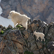 Mountain goat mother and baby on rocky edge in mountains. Spring. Montana.