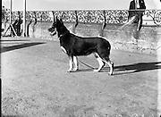 German Shepherd  'Koleen of Wolfhill' winner of Best in Show, Bray Dog Show.16/08/1952