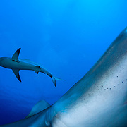 Caribbean reef sharks are predators high on the food chain. Their presence in large numbers is a key indicator of a healthy ecosystem.