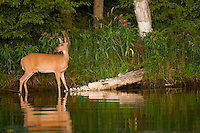 Whitetail doe (Odocoileus virginianus) walking the shoreline of a Minnesota lake.