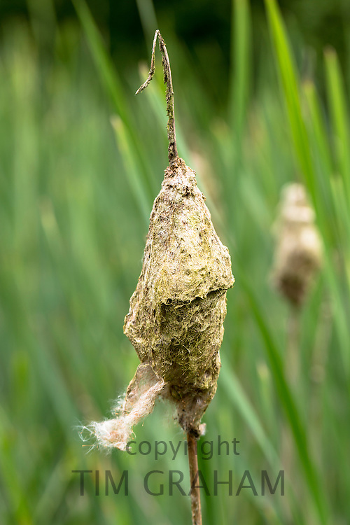 Seed dispersal by wind from Bulrush, Typha, seed head, or Reedmace, in wetland in The Cotswolds, Gloucestershire, UK