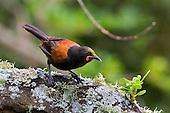 Birds of Tiritiri Matangi