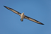 Laysan Albatross flying against blue sky