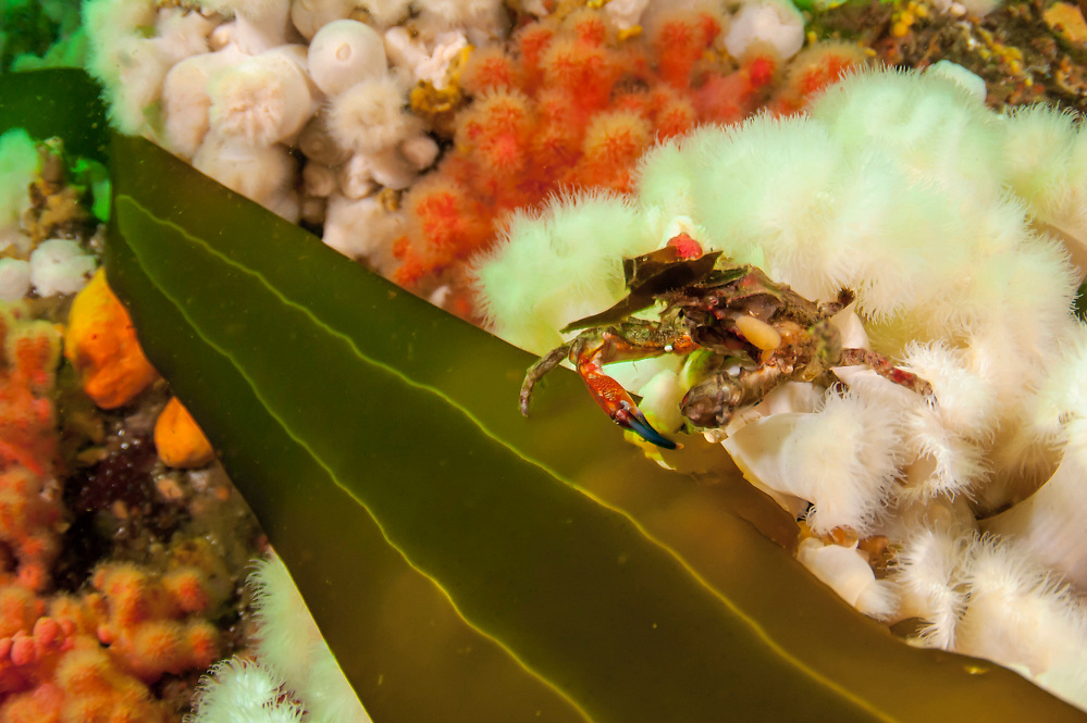 Northern Kelp Crab, Pugettia producta, feeds on kelp in Browning Passage, Vancouver Island, British Columbia, Canada