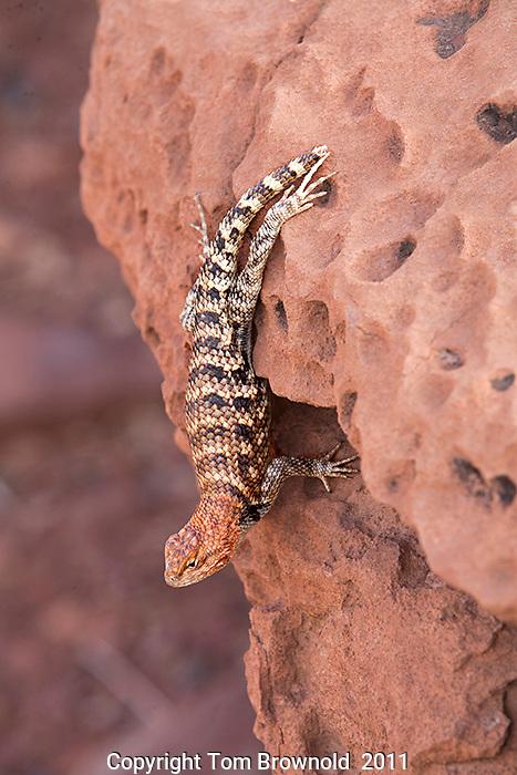 Desert Spiney lizard