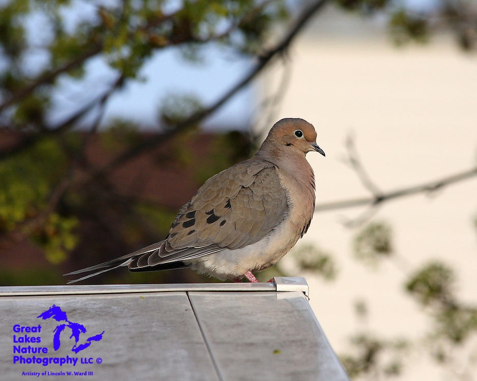 Doves are everywhere!! They congregate in large numbers and produce offspring at an incredible rate....sometimes 5 or 6 broods per year. This proud fellow has his chest feathers all fluffed-up, presumably in preparation for an attempt to favorably impress a nearby female.