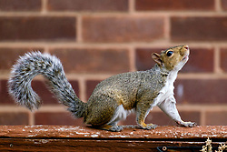 A Grey Squirrel (Scientific name Sciurus Carolinensison) makes its way along a garden fence in a British Suburban Garden<br /> <br />  Copyright Paul David Drabble<br /> 17 July 2019<br />  www.pauldaviddrabble.co.uk