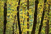 Bigleaf maple trees along Cascade River Road, Mount Baker-Snoqualmie National Forest, North Cascades, Washington.