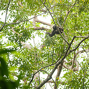 Pileated Gibbon (Hylobates pileatus) male in Khao Yai national park, Thailand