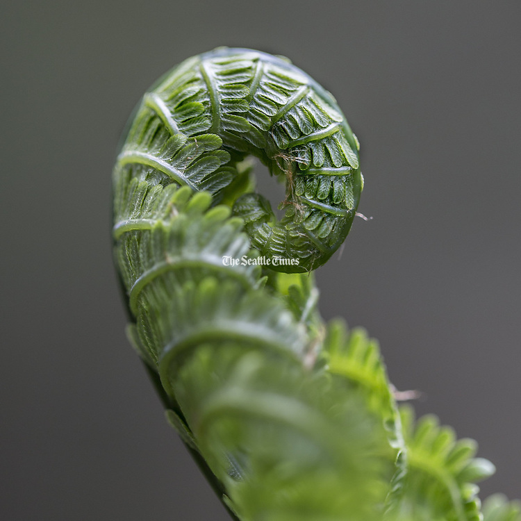 Caught in the cool shadows of the Washington Park Arboretum, Fiddlehead Ferns reach skyward to finish their unfurling--opening up to world.  <br /> <br /> Steve Ringman / The Seattle Times