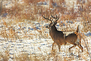 Whitetailed Deer in Habitat
