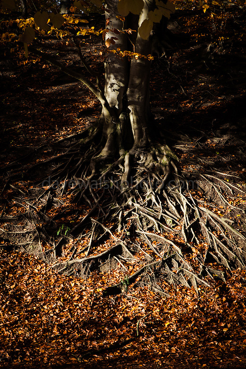Tree roots at sunset, Chateau de la Hulpe