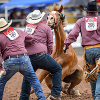 Team 3 Bar N tether a horse in the Wild Horse Race during  the Navajo Nation Fair rodeo at the Navajo Nation Fairgrounds in Window Rock Saturday.