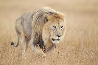 Male lion (Panthera leo) crossing the grasslands, Serengeti
