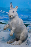Rabbit on display at the  Beijing Museum of Natural History in China.