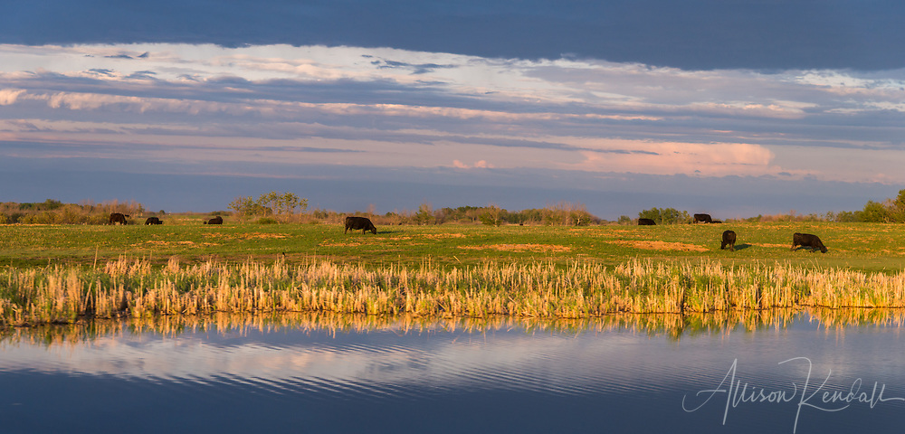A pastoral scene of grazing cattle at sunset in the countryside of Manitoba, Canada<br />