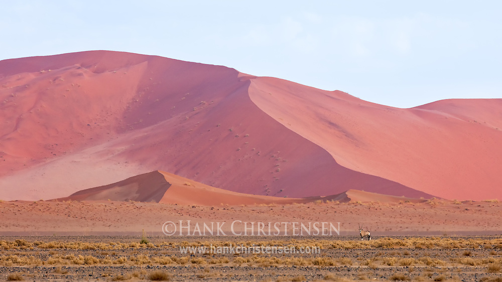 A gemsbok oryx stands in front of a massive sand dune, Namib-Naukluft National Park, Namibia.