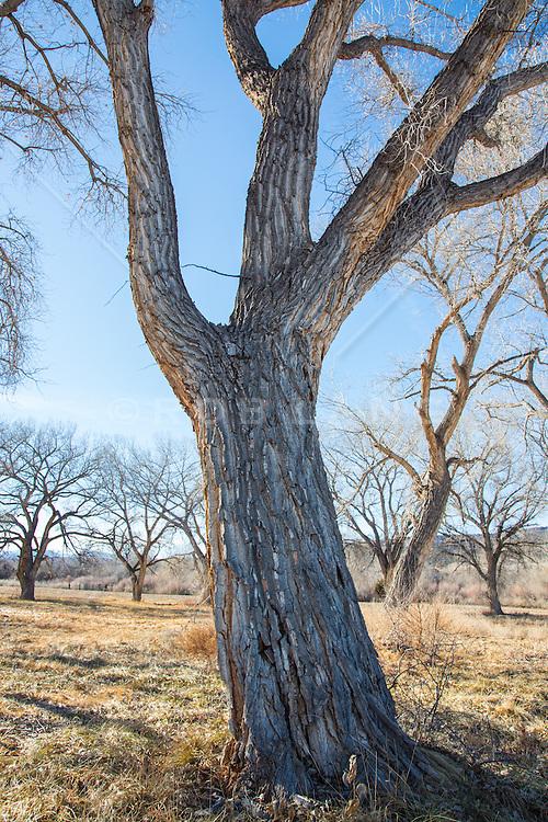 Cottonwood Tree in Santa Fe, NM