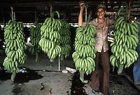 October 1982, San Pedro Sula, Honduras --- A man moves large bundles of bananas along a conveyor at a plantation in San Pedro Sula, Honduras. --- Image by © Owen Franken/CORBIS