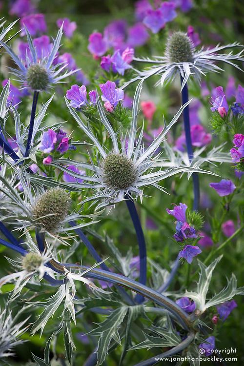 Eryngium x zabelii 'Violet' (Sea holly) with Echium vulgare 'Blue Bedder' AGM. Viper's bugloss