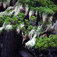 USA, California, Monterey. Spanish Moss on Cypress Trees.