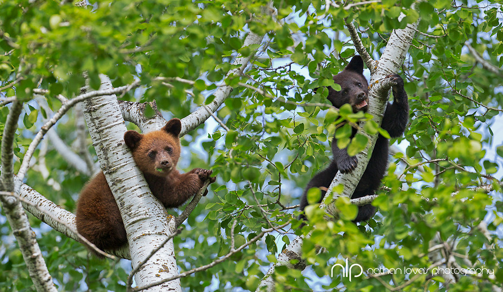 Black bear spring cubs in tree ;  taken in wild in Minnesota.