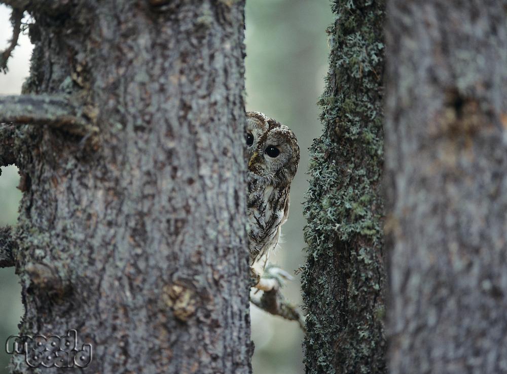Owl peeking from behind tree