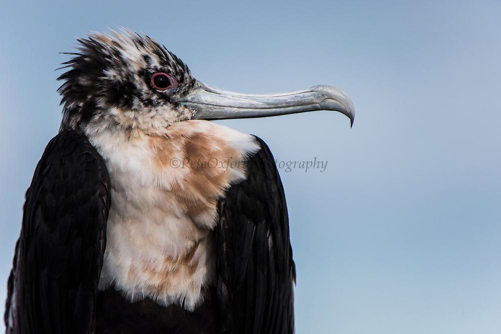 Great Frigatebird (Fregata minor) juvenile<br /> North Seymour Island<br /> Galapagos Islands<br /> ECUADOR.  South America