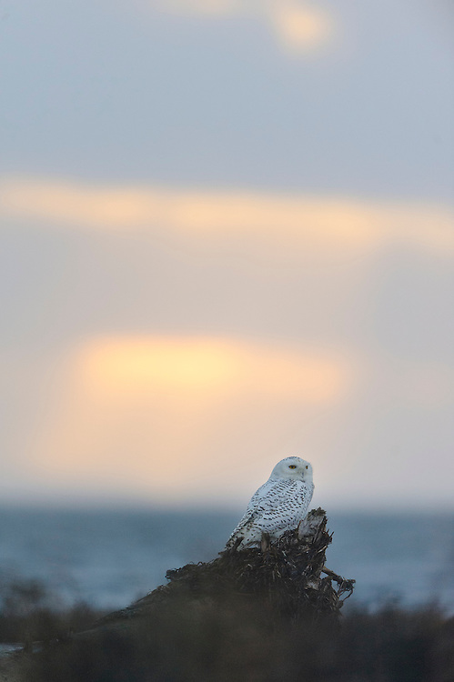 A lone snowy owl sits on driftwood in front of the Pacific Coast.