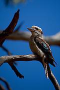 Laughing Kookaburra,  Dacelo novaeguineae,  at Tom Groggins, Kosciuszko National Park, New South Wales, Australia