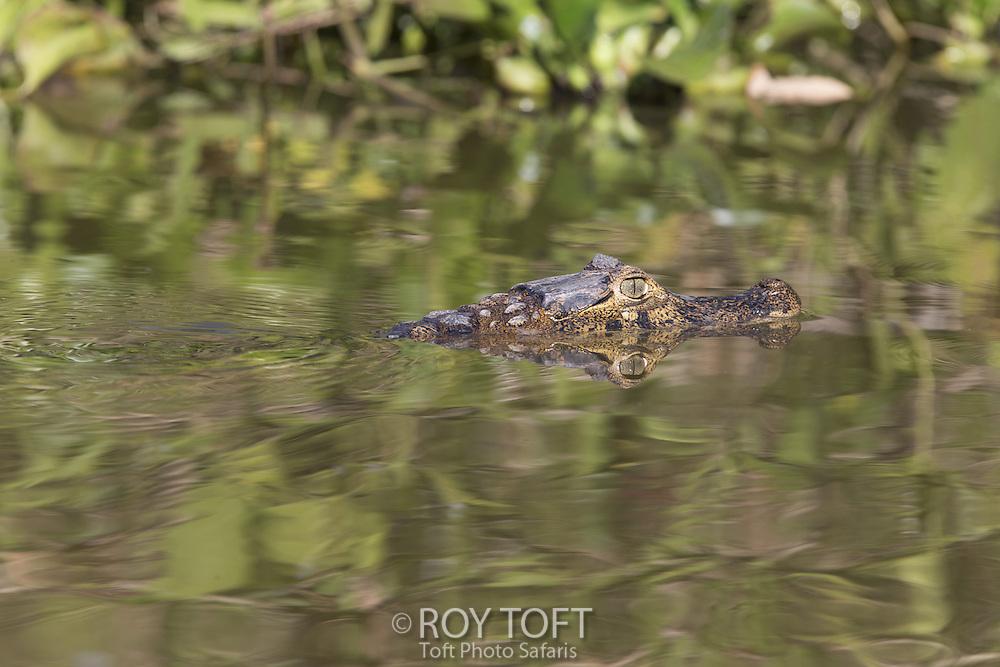 Yacare caiman (Caiman yacare), Pantanal, Brazil
