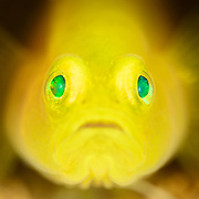 Extreme close-up portrait of a 2cm yellow pygmy goby (Lubricogobius exiguus) perched at the entrance of a burrow in sandy substrate at 29m depth. ミヒンベニハゼ